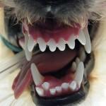 Fehlstellung der Unterkieferfangzähne - Hund Zahnspange Gebissregulierung 00