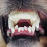 Hund-Zahnspange-Gebissregulierung-05
