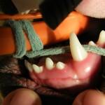Blick auf den Oberkiefer und Gaumen mit Fehlstellung des 2. Schneidezahnes auf der rechten Seite - Hund Zahnspange Gebissregulierung Dehnschraube 1