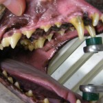 Vor der Zahnsteinentfernung - Hund Zahnstein 1