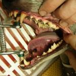 Nach der Zahnsteinentfernung - Hund Zahnstein 3