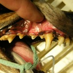 Vor der Zahnsteinentfernung - Hund Zahnstein 5