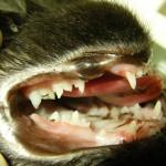 Katze-Kieferfraktur-gebrochener-Kiefer-Kieferbruecke-4