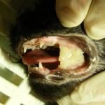 Mit einer speziellen Kunststoffbrücke werden die Kiefer in korrekter Stellung fixiert bis die Fraktur geheilt ist durch das geöffnete Mäulchen kann die Katze problemlos fressen. Katze Kieferfraktur gebrochener Kiefer Kieferbruecke 5